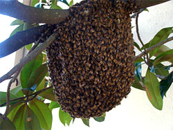 Swarm on a tree limb